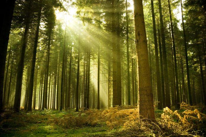 forest-tree-sun-ray-light-spruce